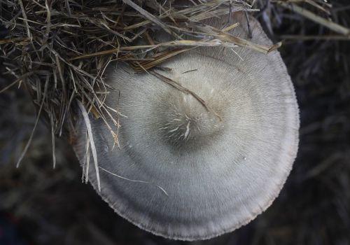 草菇菌种价格多少钱一个?不出菇怎么办?